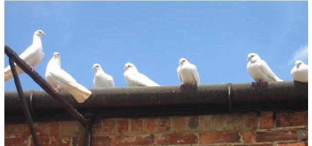 Doves at Garth Park