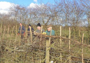 Hedge-laying-3