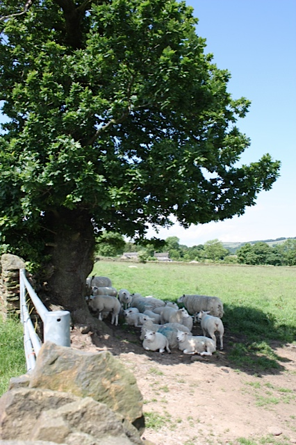 "The Old Oak providing the only shade for the whole of the ""Oak Tree"" field"