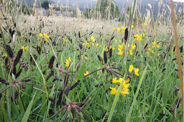"Birds Foot Trefoil and Sedges growing in ""Carr Head Close"""