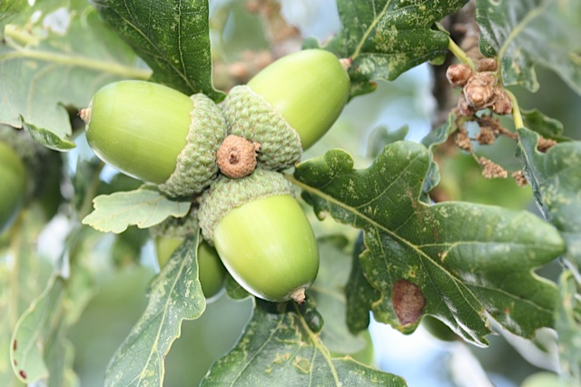 Acorns growing on the Oak Tree in 'Oak Tree' field