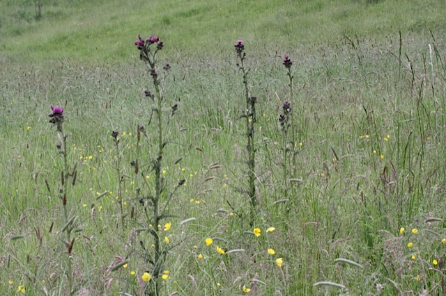 Meadow Thistle growing in Tom Ing