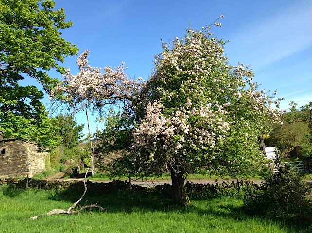The Old Crab Apple tree