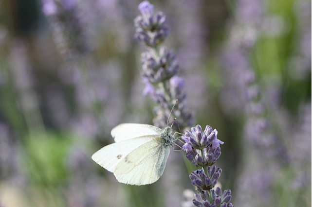White Butterfly feeding on Lavender