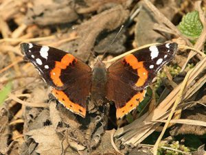 0-0-0-wx738-red-admiral-MP-bm-18.08.16