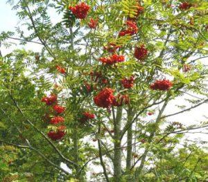 0-0-0-wx738-rowan-berries-bm-18.08.16