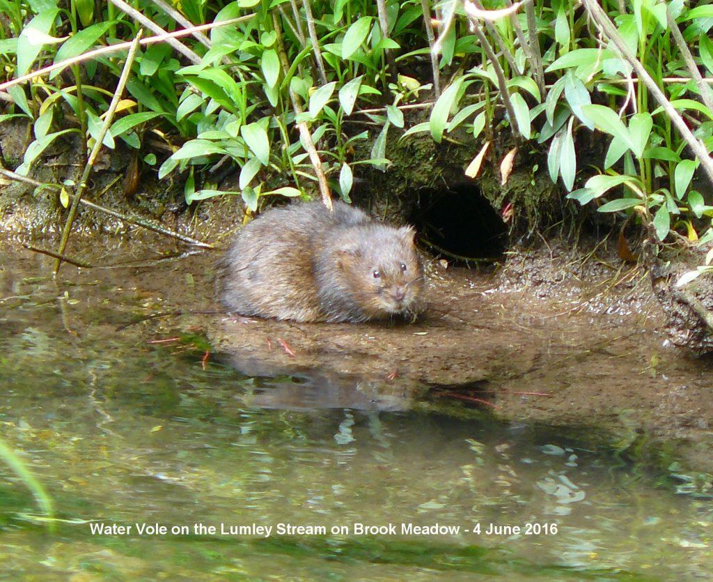 001c-water-vole16-lumley-stream-bm-b-04.06.16
