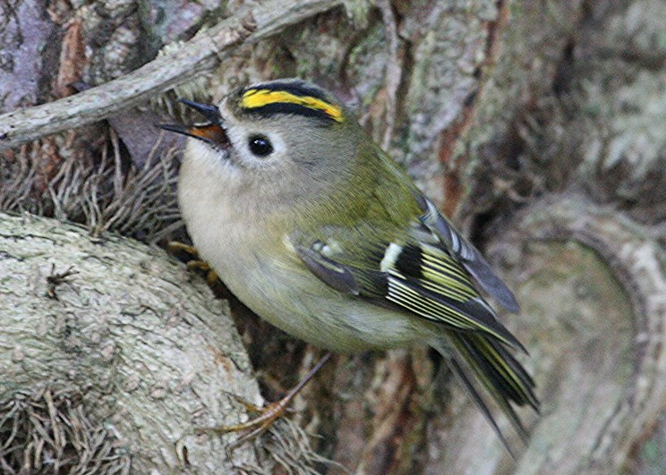 005a-goldcrest-sing-bm-MP-X-08.02.16