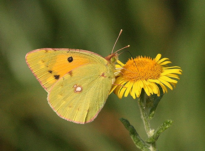 010d-clouded-yellow-bm-MP-X-07.09.16