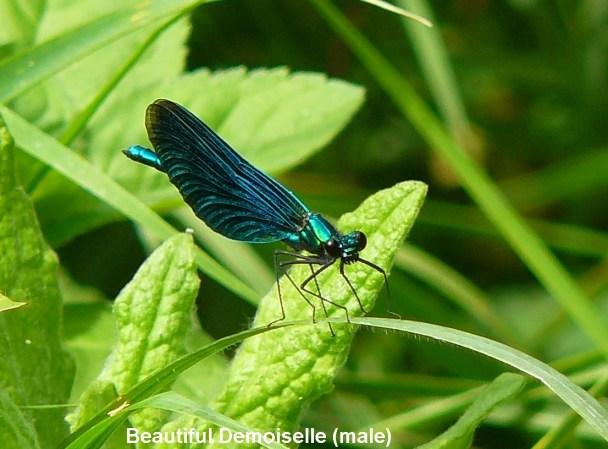 016a-beautiful-demoiselle-male-bm-X-21.06.15
