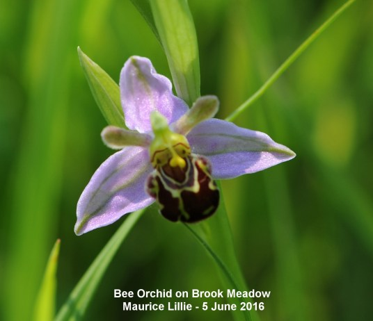 029a-bee-orchid-16-lumley-area-ML-X-05.06.16