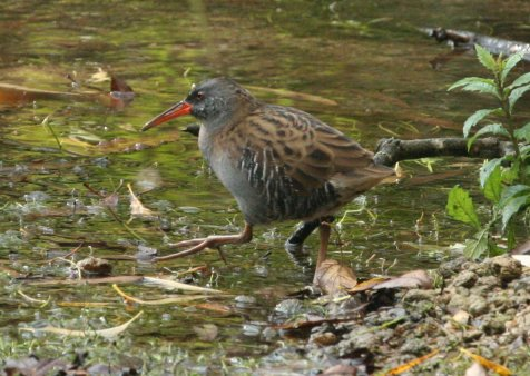 0-0-0-wx558-water-rail-bm-mp-30-09-14