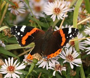 0-0-0-wx688-red-admiral-bm-MP-13.10.16
