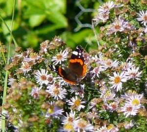 0-0-0-wx691-red-admiral-mmd-bm-10.10.16