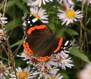 0-0-0-wx692-red-admiral-bm-MP-09.10.16