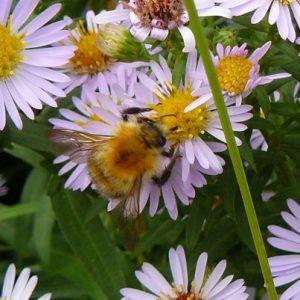 0-0-0-wx702-bumblebee-pascuorum-26.09.16
