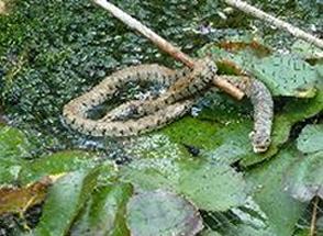 0-0-0-wx702-grass-snake-rookery-26.09.16