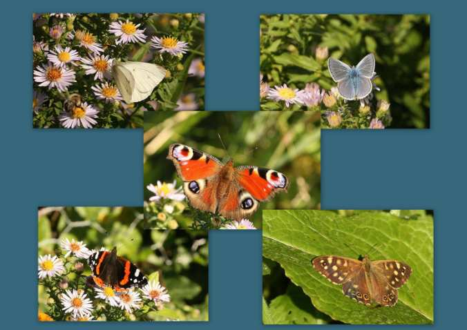 0-0-0-wx704-butterflies-montage-bm-MP-23.09.16