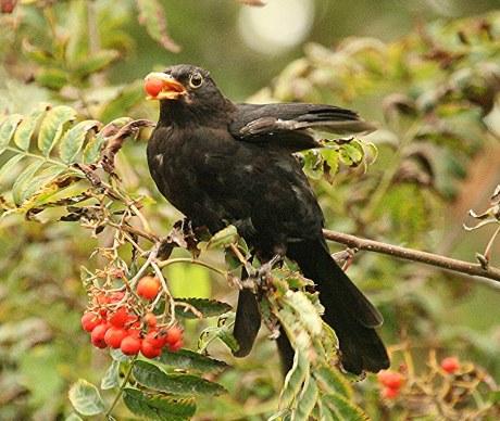 0-0-0-wx718-blackbird-berries-bm-09.09.16