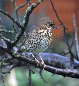 0-0-0-wx940-song-thrush-PM-06.01.16