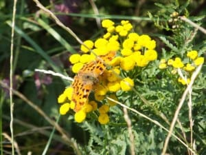 Ragwort needs to be controlled