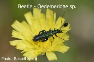 Beetle-Oedemeridae-sp