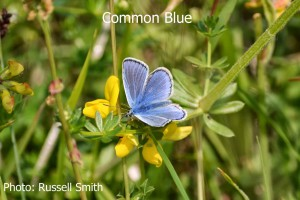 Common-Blue2