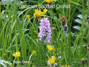 Common-Spotted-Orchid-3