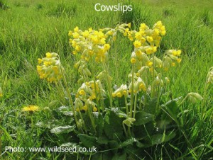 Cowslips1a