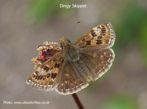 Dingy-Skipper1a