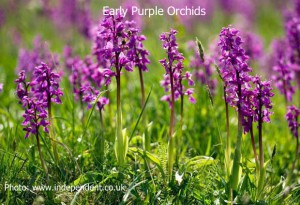 Early-Purple-Orchid1a