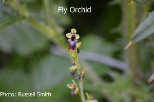 Fly-Orchid