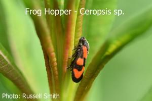 Frog-Hopper-Ceropsis-sp