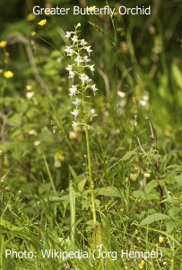 Greater-Butterfly-Orchid