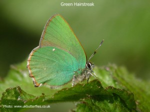 Green-Hairstreak1a
