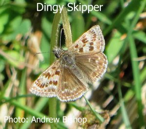 IMG_4223_Dingy_Skipper