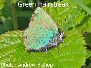 IMG_4225_Green_Hairstreak