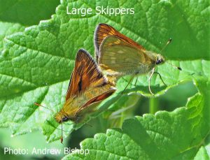 IMG_4334-AB-Large-Skippers
