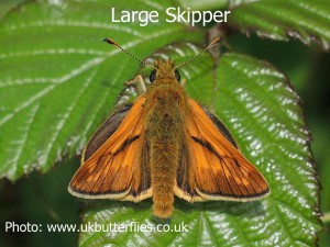 Large-Skipper-Butterfly