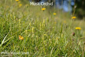 Musk-Orchid