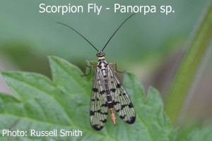 Scorpion-Fly-panorpa-sp