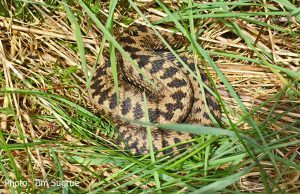 Sleepy-Adder-on-Leckhampton-Hill-20160428