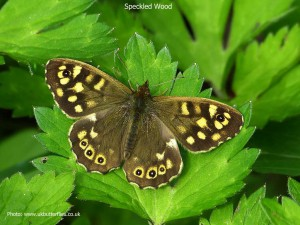 Speckled-Wood1a