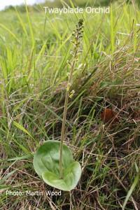 Twayblade-Orchid