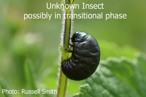 Unknown-Insect-transitional-stage
