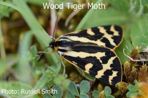 Wood-Tiger-Moth