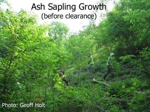 Ash_sapling_growth