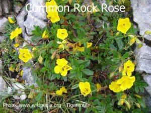 Common-Rock-Rose