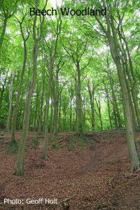 IMG_2580-Beech-Woodland