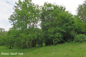 IMG_2585-Ash-Trees